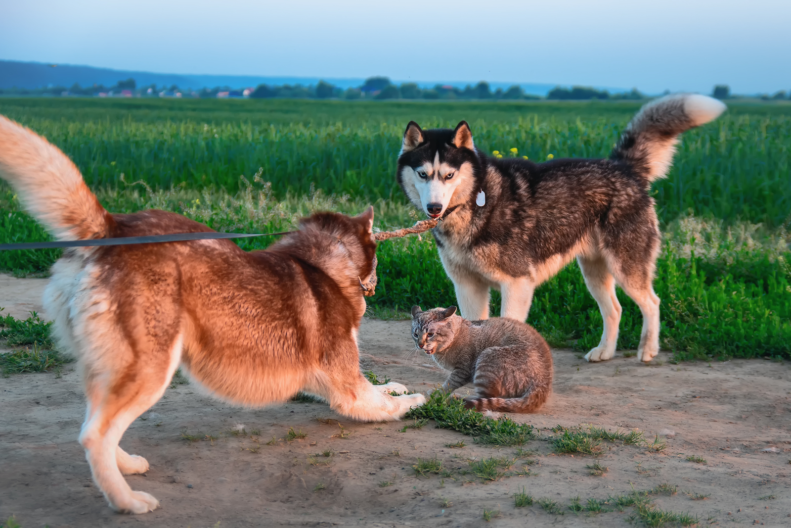 Two Siberian husky dogs caught cat