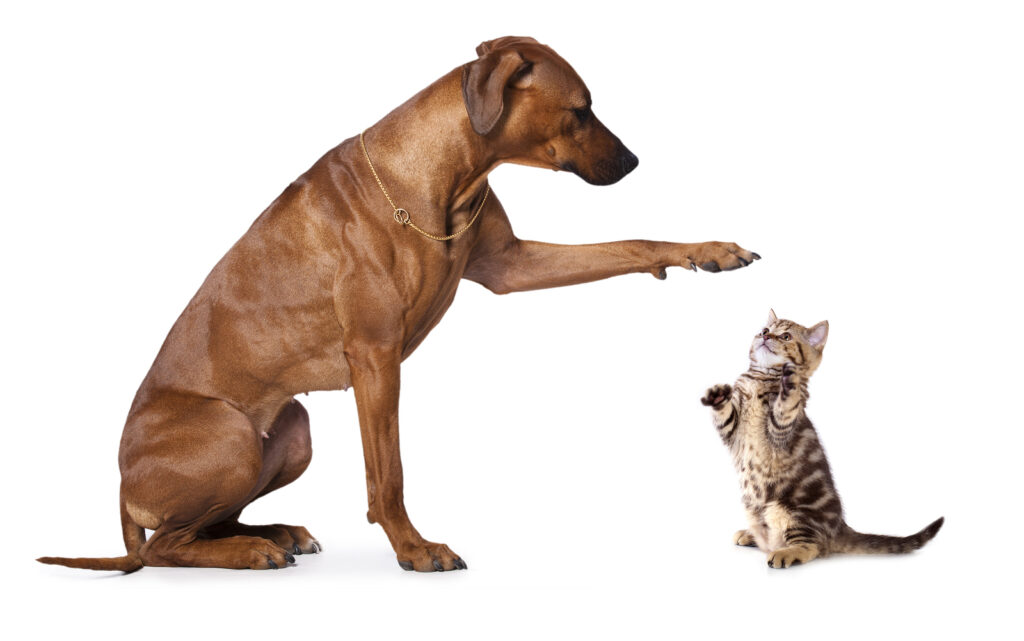 Kitten and a Rhodesian Ridgeback.